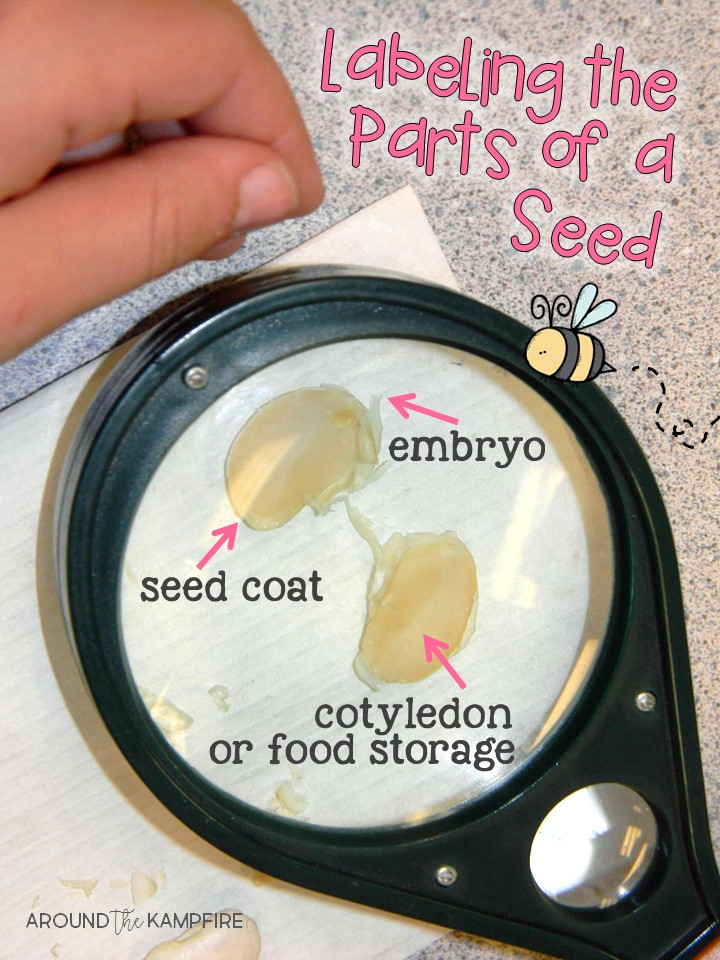 Plant life cycle activities-Labling the parts of a seed learning lab for 1st, 2nd, 3rd grade