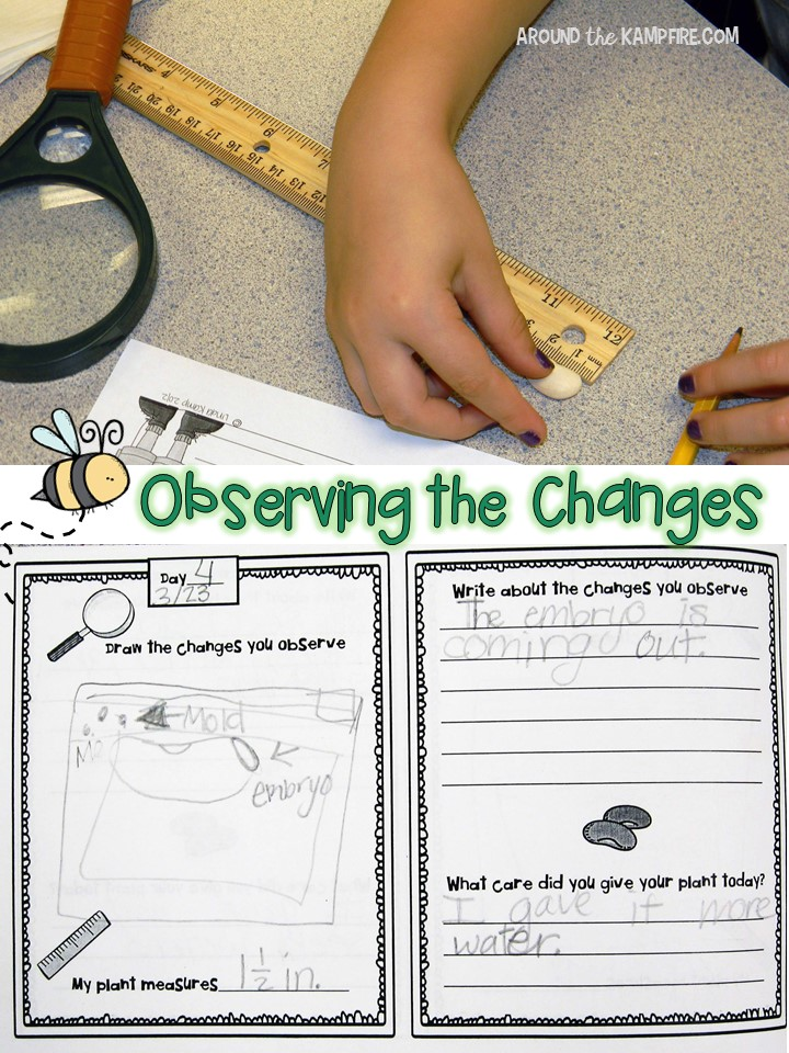 Plant life cycle activities- Observing the changes science experiment. Part of a complete unit for teaching students about plants