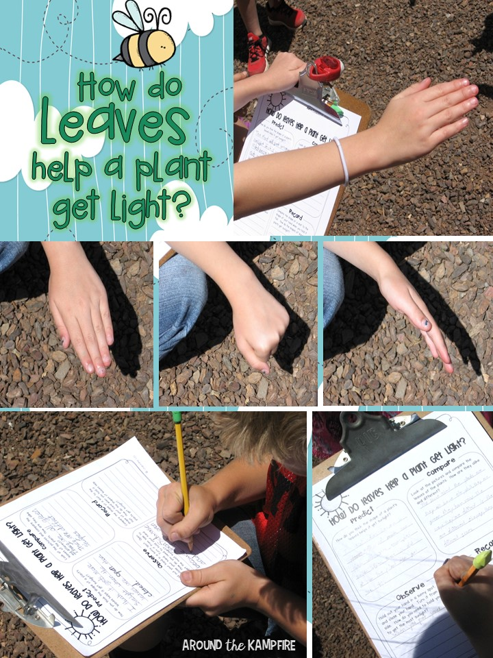 Plant life cycle activities- Science experiement for how leaves help a plant get light . Part of a complete science unit for teaching about plants.