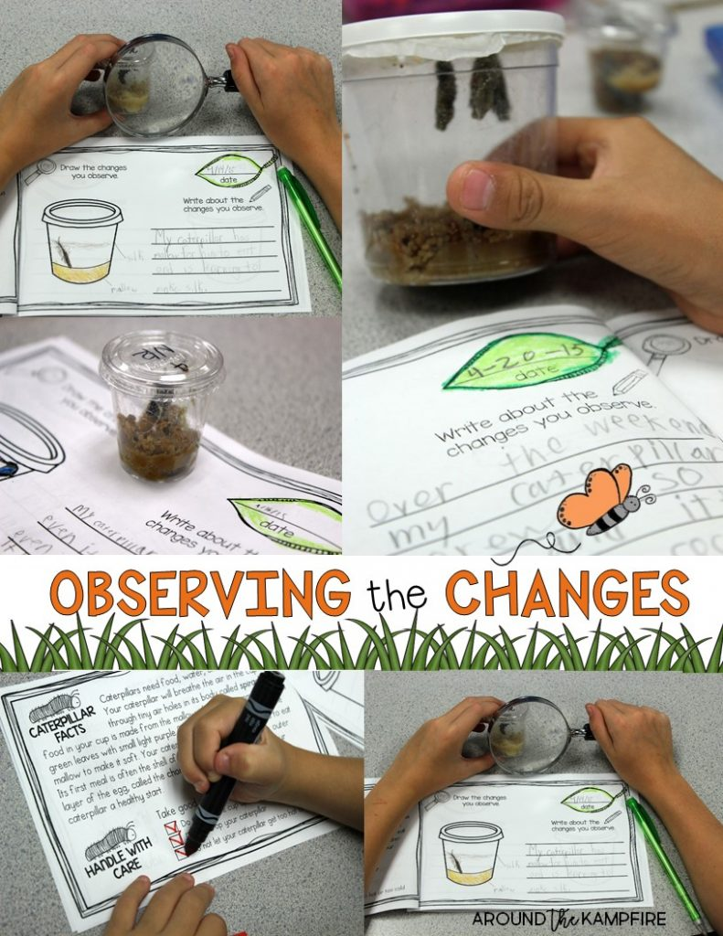 Butterfly life cycle activities- Observing the changes in the life cycle of butterflies