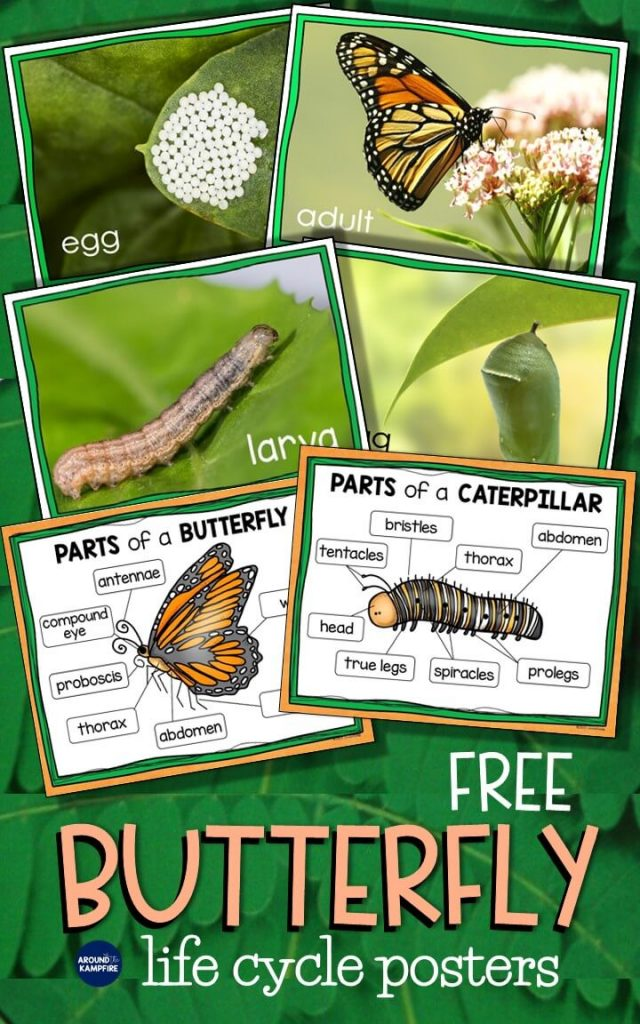 Free butterfly life cycle science posters.